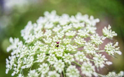 Wild Carrot Flower (Queen Anne's lace)